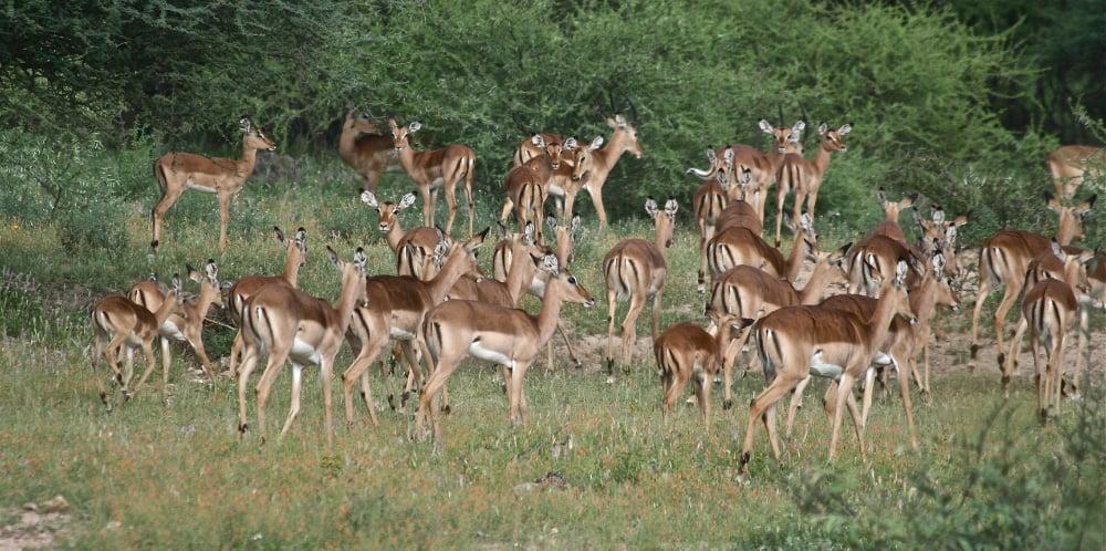 Impalas grazing