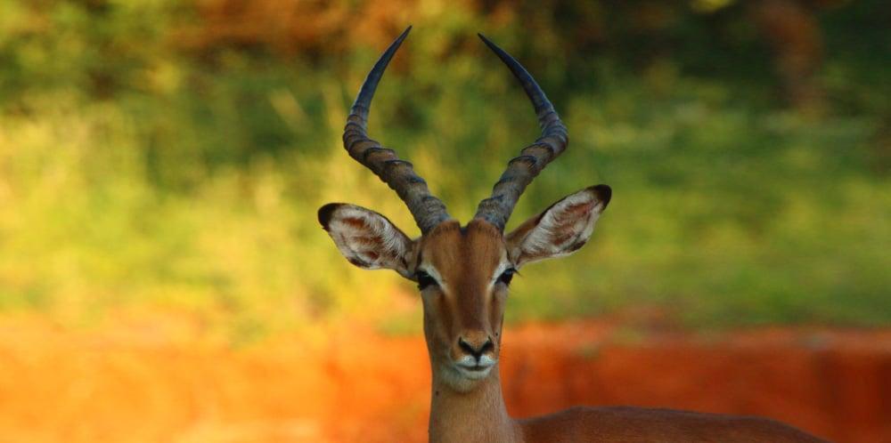 beautiful impala safari