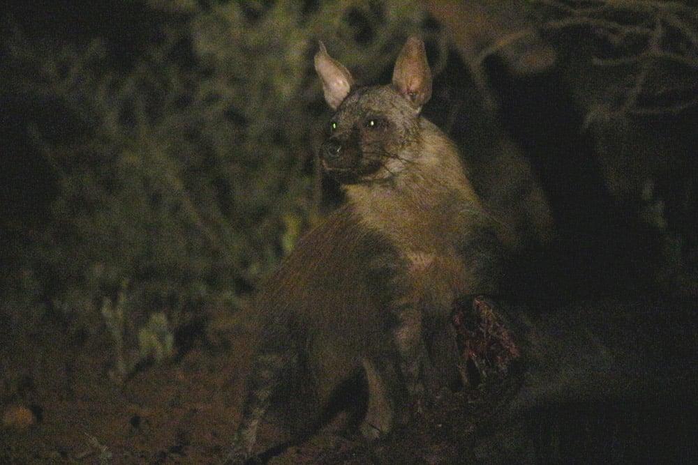 brown_hyena