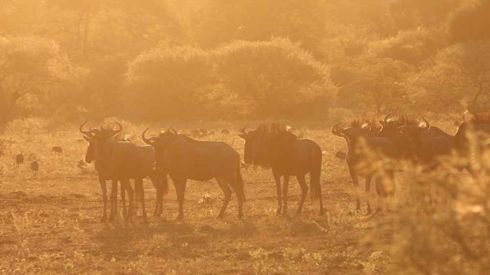 wildebeest morning