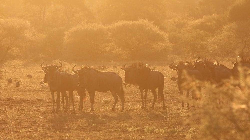 wildebeest morning
