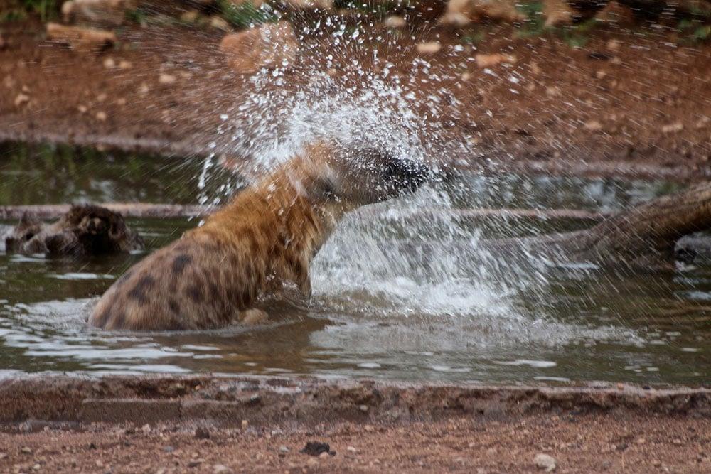 hyena-water-partofafrica