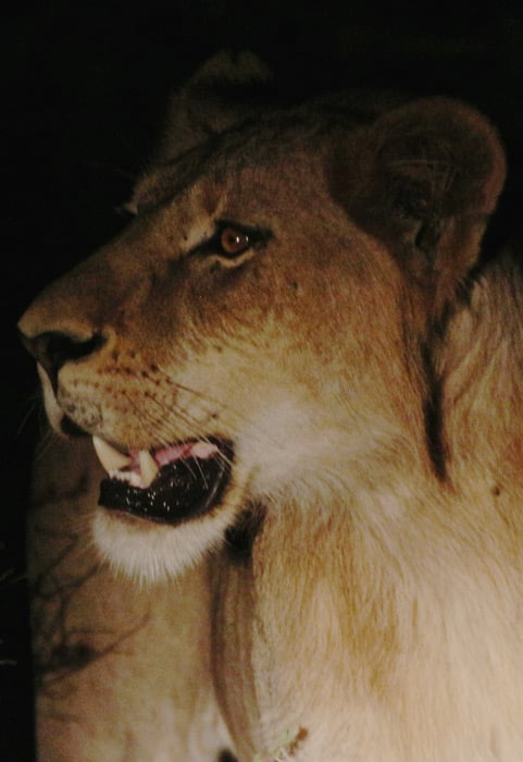 lion-closeup-partofafrica