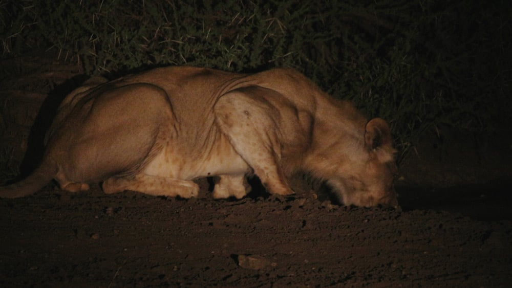 lion-drinking-partofafrica