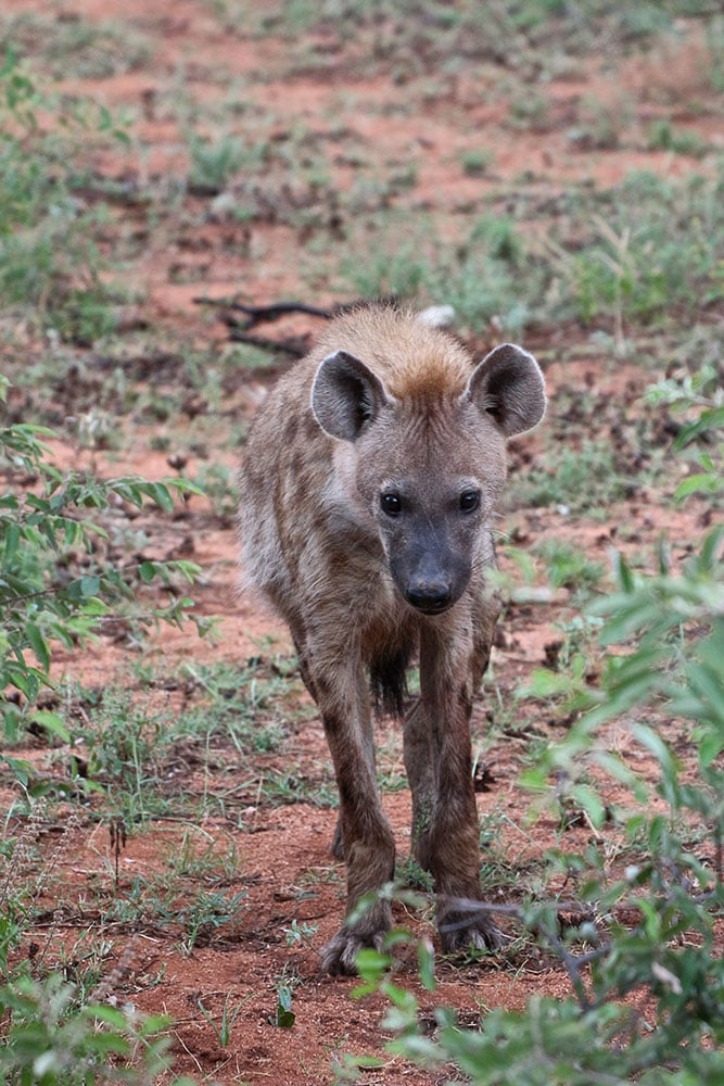 spotted-hyena-partofafrica