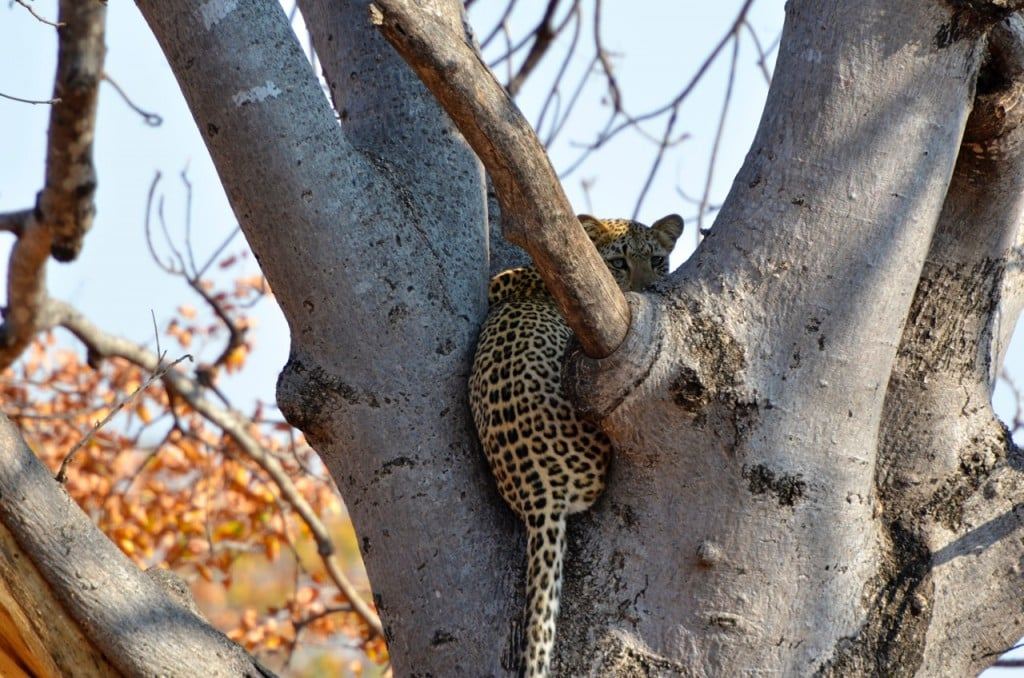 beautiful leopard in a tree
