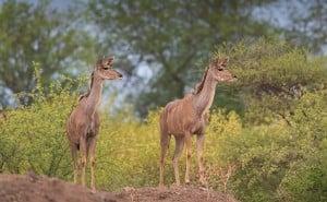kudu (1024x632)